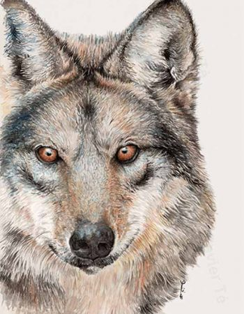 Canis lupus baileyi / Mexican wolf
