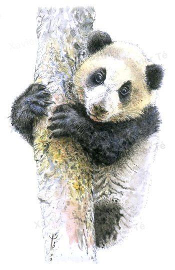 Ailuropoda melanoleuca (Giant panda)