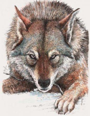 Canis lupus familiaris (Saarloos wolfdog)