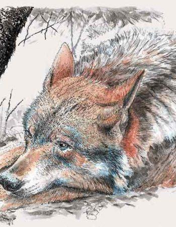 Canis lupus signatus / Loup ibérique