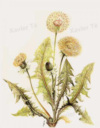 Taraxacum officinale / Common dandelion