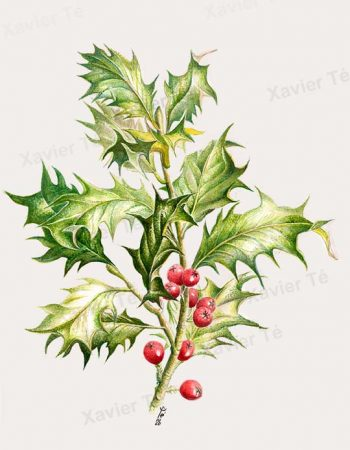 Ilex aquifolium / Common holly 2