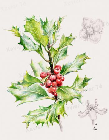 Ilex aquifolium / Common holly