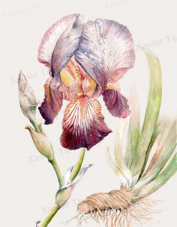 Iris sumbacina