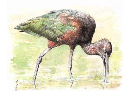 Plegadis falcinellus (Ibis falcinelle)