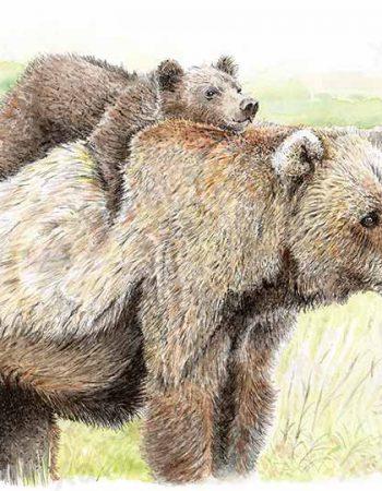 Ursus arctos middendorff / Kodiak bear