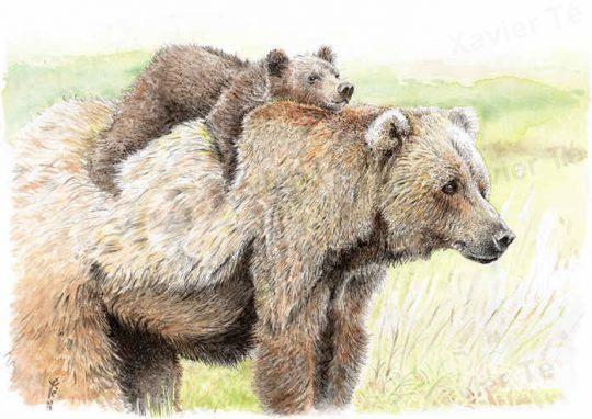 Ursus arctos middendorff