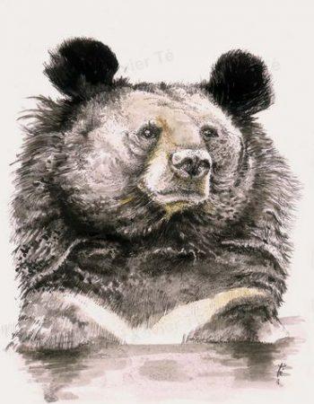 Ursus thibetanus (Ours à collier)