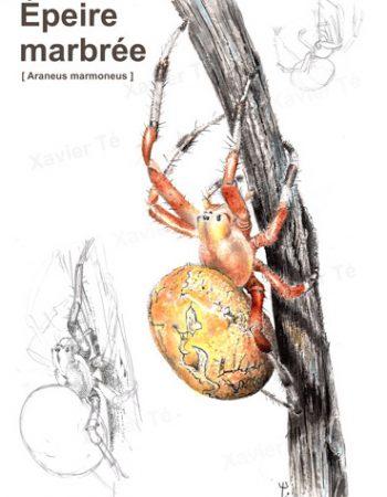 araneus marmoneus (Epeire marbrée)