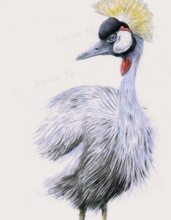 balearica regulorum (Grey crowned crane)
