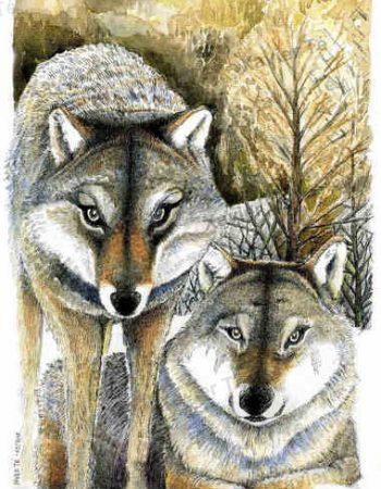 Canis lupus lupus / Loup gris)
