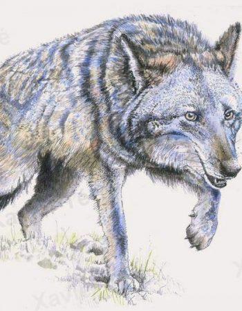 Canis latrans / Coyote