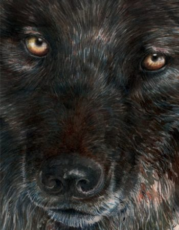 Canis lupus / loup gris