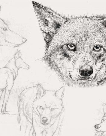 Canis rufus ( Loup rouge )