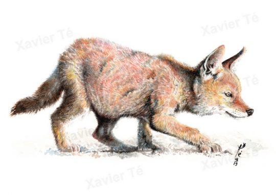 Canis simensis (Loup d'Éthiopie)