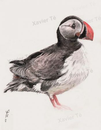 Fratercula arctica (Atlantic puffin)