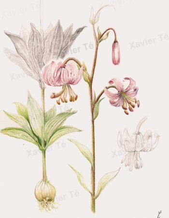Lilium martagon / Lis martagon