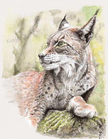 Lynx lynx (Lynx boréal)