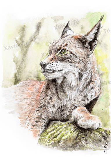 Lynx lynx (Eurasian lynx)