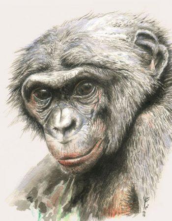 Pan panicus / Bonobo