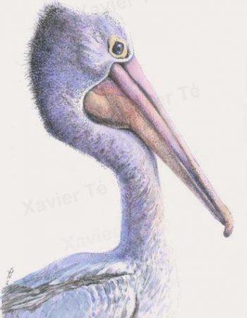 Pelecanus conspicillatus (pélican à lunettes)
