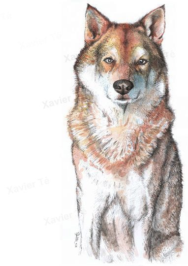 Canis lupus familiaris (Chien-loup de Saarloos)
