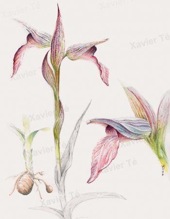 Serapias lingua / Tongue Orchid