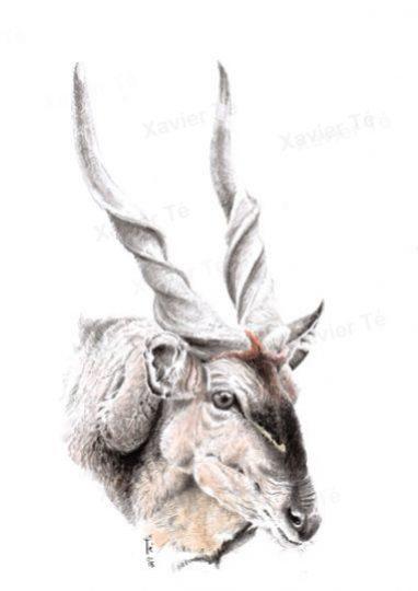 Taurotragus derbianus (Giant eland)