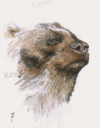 Tremarctos ornatus (Spectacled bear)​