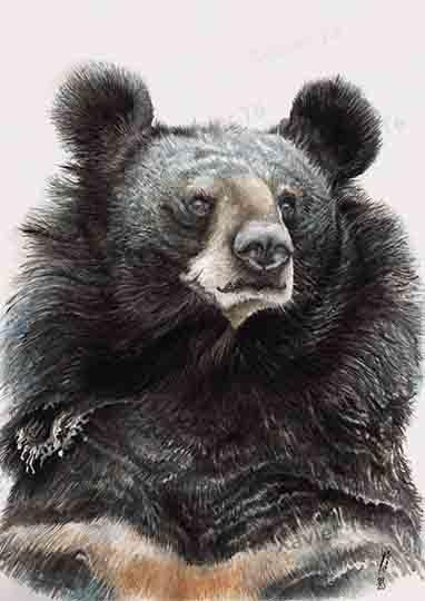 Ursus thibetanus / Ours à collier